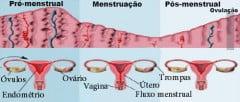 Hormonas no ciclo menstrual
